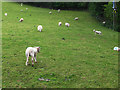 SJ2043 : Lambs with undocked tails by Stephen Craven