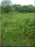 SR9794 : Wild orchids at Bosherton by Steve  Fareham