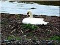 NS1960 : Nesting Swan - Aubery Park, Largs by Raibeart MacAoidh