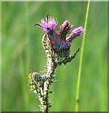 TG3204 : Five-spot Burnet moth (Zygaena trifolii) on Marsh thistle by Evelyn Simak