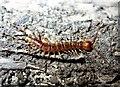 TQ7818 : A banded centipede, Churchland Lane by Patrick Roper