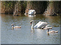 SY5783 : Swans and Cygnets in Rearing Pool at Abbotsbury by David Dixon