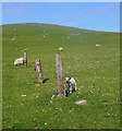 HU3630 : Posts and Sheep on a Hillside by Des Blenkinsopp