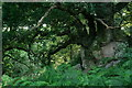SD1398 : Old Oak Tree by Peter Trimming