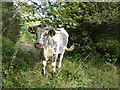 NY2061 : An English longhorn by Rose and Trev Clough