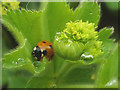 SD4972 : Ladybird on Lady's Mantle by Karl and Ali