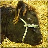 NT1473 : Highland calf by Richard Webb