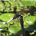 TG3206 : Scarce Chaser (Libellula fulva) - male by Evelyn Simak