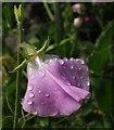 SP1772 : Drops on sweet pea flower, Kitchen garden, Packwood House by Derek Harper