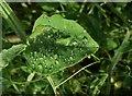 SP1772 : Drops on sweet pea, Kitchen garden, Packwood House by Derek Harper