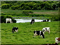 H3081 : Cows grazing at Magheralough by Kenneth  Allen