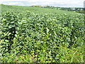 NT2769 : Field beans at Liberton by M J Richardson