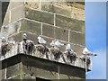 TA0488 : Kittiwakes nesting on Cliff Bridge, Scarborough by Graham Robson