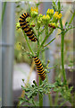 ST5772 : Cinnabar Moth Caterpillars by Anne Burgess