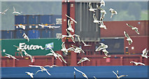 J3777 : Gull flock, Belfast harbour (July 2017) by Albert Bridge
