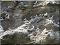 TA0589 : Nesting Kittiwakes, Castle Cliff, Scarborough by Graham Robson