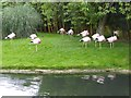 SO7204 : Greater Flamingos at WWT Slimbridge by Oliver Dixon
