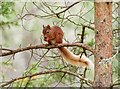 NJ0019 : Red Squirrel - Abernethy National Nature Reserve by valenta