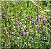 TG3204 : Tufted vetch (Vicia cracca) by Evelyn Simak
