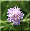 TG3004 : Field scabious (Knautia arvensis) by Evelyn Simak