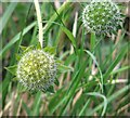 TG3004 : Field scabious (Knautia arvensis) - seed heads by Evelyn Simak