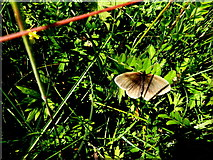 H6156 : Meadow brown butterfly, Tullybryan by Kenneth  Allen
