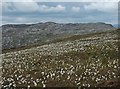 NB4116 : Cotton grass on the southern slopes of Druim nan Caorach, Isle of Lewis by Claire Pegrum