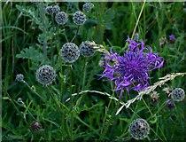 TQ1450 : Wildflowers of chalk downland: Knapweed by Stefan Czapski