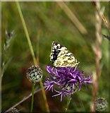 TQ1450 : Marbled White butterfly on knapweed, Denbies hillside by Stefan Czapski