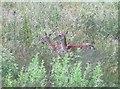SO9740 : Fallow deer near Castle Hill by Derek Harper