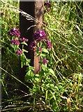 TQ1450 : Wildflowers of chalk downland: Marjoram (Origanum vulgare) by Stefan Czapski
