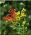 SK2480 : Comma butterfly on ragwort by Neil Theasby