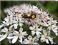 TQ7818 : Orange-spot piercer moth on hogweed flowers by Patrick Roper
