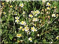 TG3004 : Scented mayweed (Matricaria recutita) by Evelyn Simak