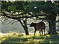 SK2581 : Bullock scratching itself - Hathersage Moor by Neil Theasby