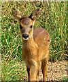 TA3721 : Baby deer near Out Newton by Paul Harrop