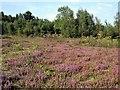 TQ7620 : Heathland in Footland Wood by Patrick Roper