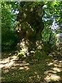 SK4444 : Spanish Chestnut tree, Shipley Hill by Alan Murray-Rust