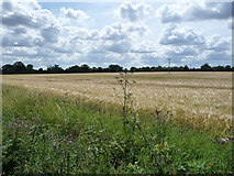 TL9870 : Power lines across a barley field by Christine Johnstone