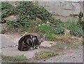 SX9165 : Cat near Hill Park Road, Torquay by Derek Harper