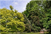 SO7137 : Ledbury, St. Michael and All Angels Churchyard: Horse Chestnut split by a storm by Michael Garlick