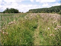 TM4599 : Creeping thistles beside the path to the Waveney Forest by Evelyn Simak