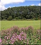 TM4599 : Great willowherb  (Epilobium hirsutum) by Evelyn Simak