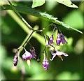 TM4599 : Woody Nightshade (Solanum dulcamara) - flowers by Evelyn Simak