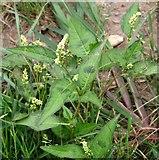 TM4599 : Pale Persicaria  (Persicaria lapathifolia) by Evelyn Simak