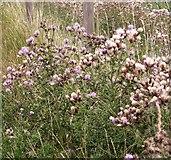 TM4599 : Creeping thistle (Cirsium arvense) by Evelyn Simak