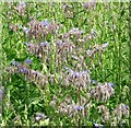 TG3303 : Flowering borage by Evelyn Simak