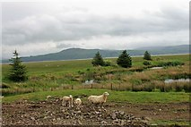 NX4355 : Wigtown Sheep by Andrew Wood