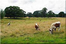 SJ9921 : Longhorn cattle at Shugborough by Bill Boaden