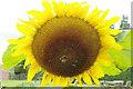 SO5163 : Sunflower - walled garden, Berrington Hall by Stephen McKay